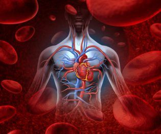 Human heart circulation cardiovascular system with anatomy from a healthy body on a background with blood cells as a medical health care symbol of an inner vascular organ as a medical health care concept.