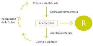 formación de acetilcolina