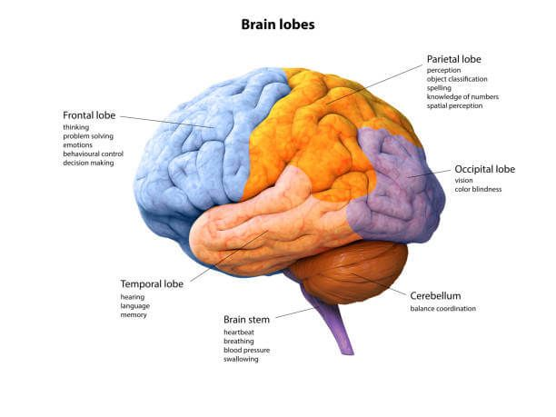 El lóbulo frontal es el encargado de la personalidad, el comportamiento, y las emociones, así como del juicio, la planificación, resolución de problemas, movimientos motores, inteligencia, concentración o lenguaje. Los lóbulos parietales, por su parte, son los encargados de interpretar la percepción y visión, el lenguaje, la escucha, las sensaciones y la memoria, mientras que los lóbulos temporales interpretan el lenguaje, la memoria y la escucha, secuenciándola y organizándola. Por último, el lóbulo occipital es el encargado de interpretar la información visual.