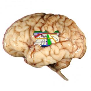 Nuestro cerebro es capaz de elaborar un mapa de nuestra zona y situar nuestra localización en él