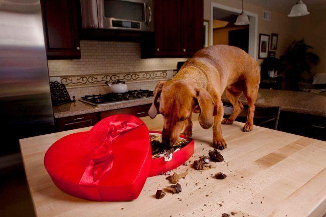 Los-perros-pueden-comer-chocolate-3