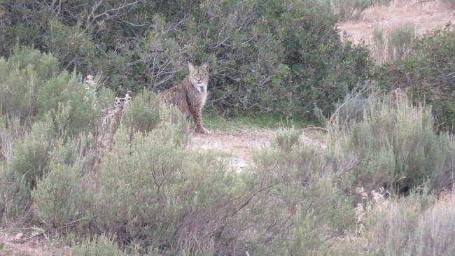 Ejemplar macho adulto de lince ibérico (Lynx pardinus).