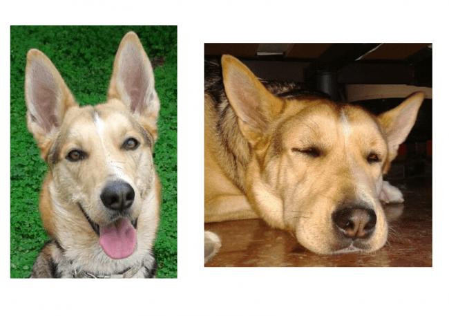 Imagen comparativa del rostro de un perro antes y después de una reacción alérgica