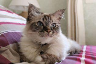 Sagrado de Birmania, un gato excepcional
