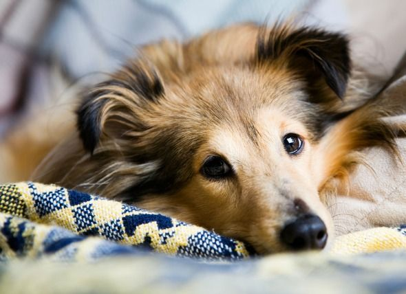 seizures-and-convulsions-dogs