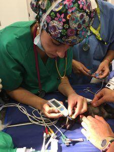 Veterinario interno realizando una medición de glucosa